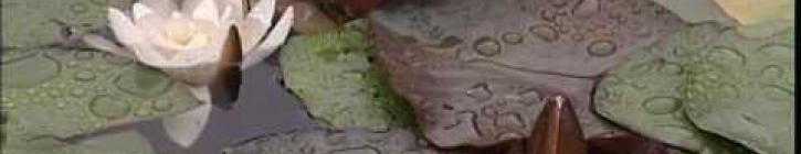 Embedded thumbnail for Pestovanie lekien v záhradných jazierkach - video návod