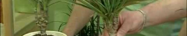 Embedded thumbnail for Draceny, Cordyline a Yuccy - video návod